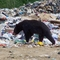 Bears scavenging at the Refuse Site near Ile-A-La Crosse, Saskatchewan