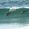 Dolphins surfing Lennox Head