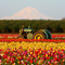 Mt Hood and a John Deer Tractor over the Wooden Shoe Tulip Fields Monitor Oregon