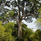 The big tree - Lekoumou - Congo Brazaville - Africa