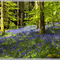 Bluebells in the Beech Woods (It doesn't always rain here !!)