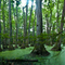 Cypress swamp, MS