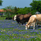 Bluebonnets & Cows