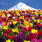 Mount Hood from Wooden Shoe Tulip Farm